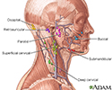 Lymph tissue in the head and neck.